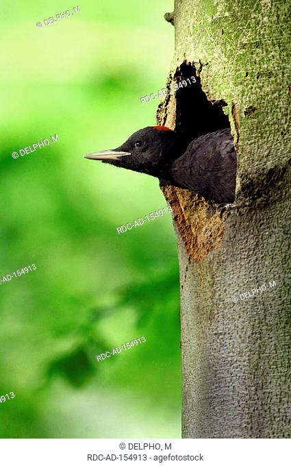 Black Woodpecker looking out of tree hole Thuringia Germany Dryocopus martius