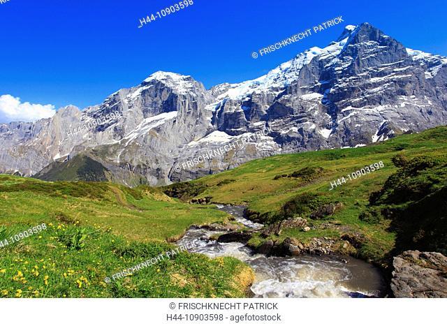Alp, alps, flora, view, mountain, mountains, mountain spring, mountain massif, Bern, Bernese Oberland, flowers, ranunculus, rock face, flora, spring, mountains