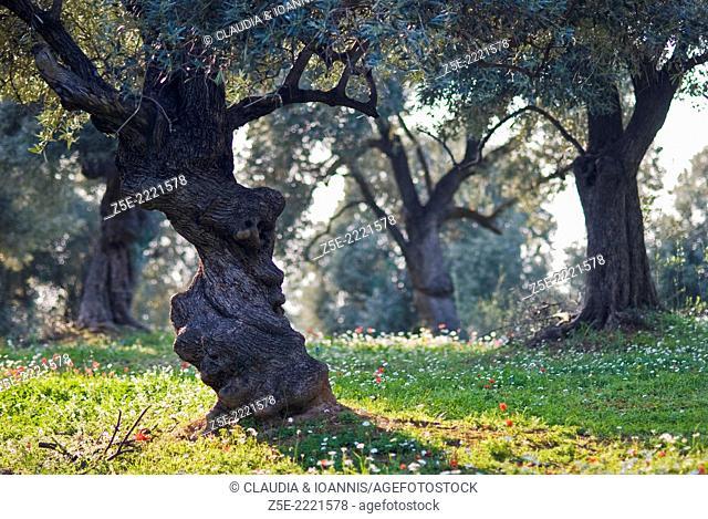 Olive grove in springtime