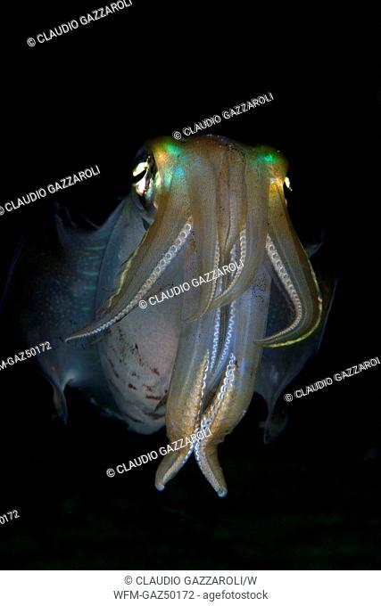 Reef Squit at Night, Sepioteuthis lessoniana, Komodo, Indonesia