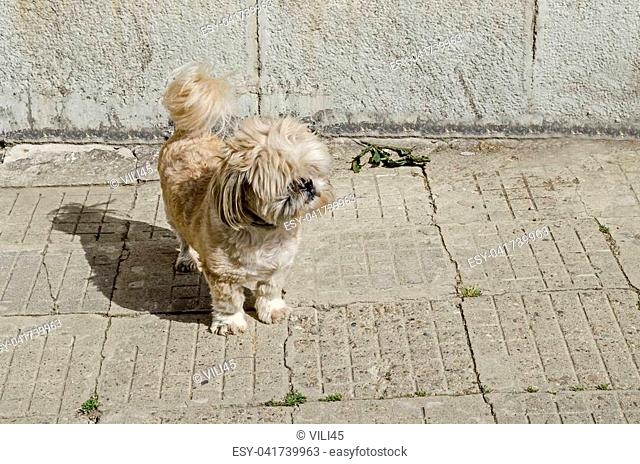 Thoroughbred Yorkshire Terrier dog on the street to seek your proprietor, district Drujba, Sofia, Bulgaria