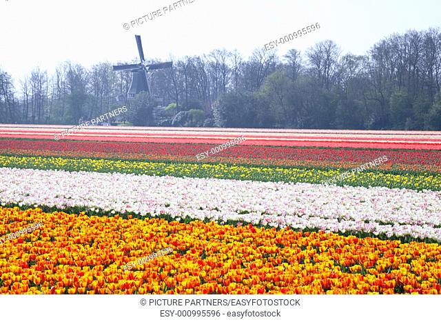 Dutch Tulip fields in springtime with a windmill in the background