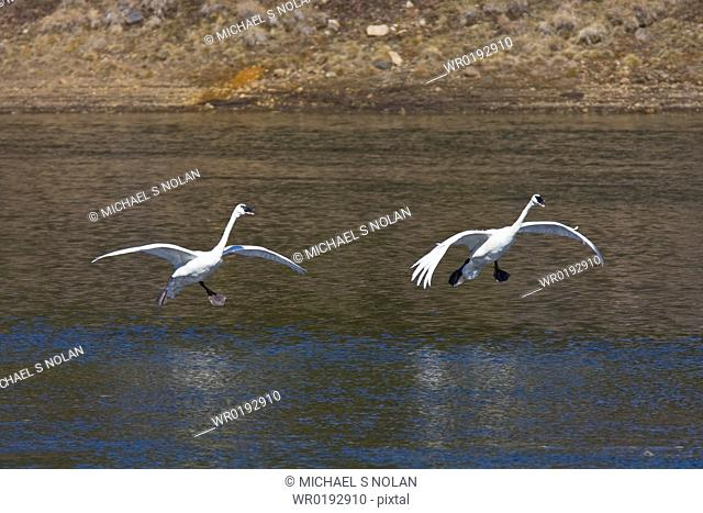 Adult trumpeter swans Cygnus buccinator taking off and landing on the Yellowstone River in Yellowstone National Park, Wyoming, USA