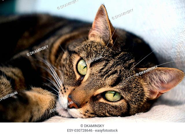 Photo of a egyptian mau cat with green eyes. Taken in Riga, Latvia