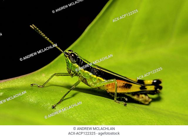 Grasshopper in the Cordillera Escalera of the Amazon Rainforest near Tarapoto, Peru