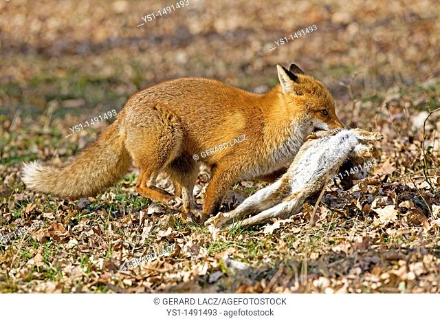 Red Fox, vulpes vulpes, Male with a Kill, a Wild Rabbit, Normandy