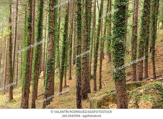 Pine forest near the ravine Monleón, Vistabella del Maestrazgo. Castellón