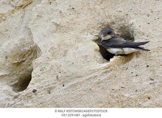 Sand Martin / Bank Swallow / Uferschwalbe ( Riparia riparia) sitting at its nest hole, in a sand cliff of a river bank, wildlife, Europe