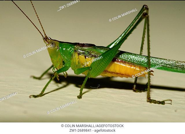 Grasshopper (Orthoptera order, Caelifera sub-order), Klungkung, Bali, Indonesia