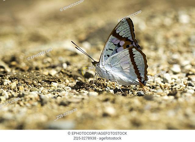 Indian purple emperor, Mimathyma ambica, Namdapha Tiger Reserve, Arunachal Pradesh, India