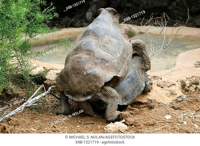 Captive Galapagos giant tortoise Geochelone elephantopus attempting to mate at the Charles Darwin Research Station on Santa Cruz Island in the Galapagos Island...