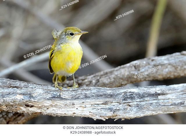 Yellow Warbler (Dendroica petechia), Galapagos Islands National Park, Floreana Island, Ecuador