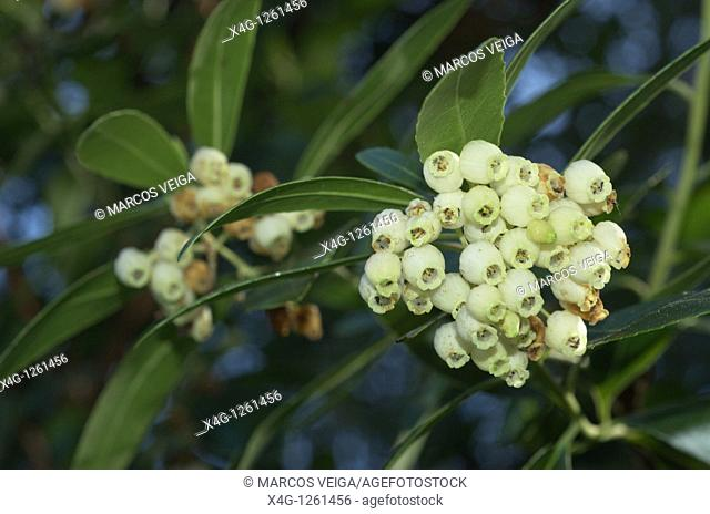 Flowers of the Strawberry tree Arbutus unedo