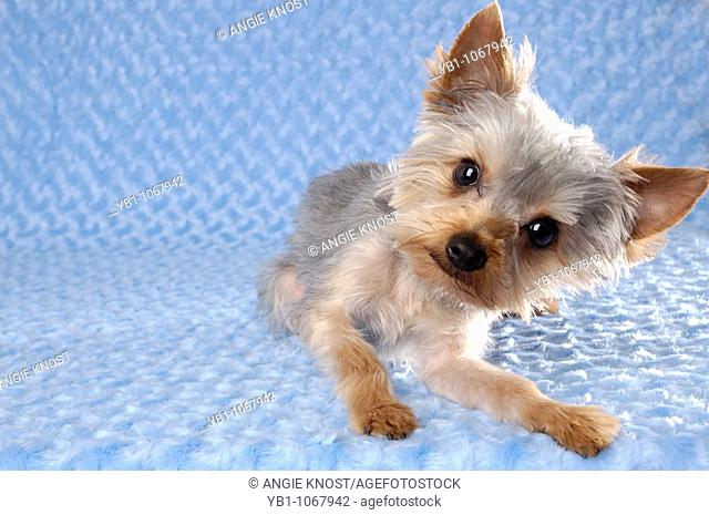 Humorous portrait of a Yorkie dog on a blue background