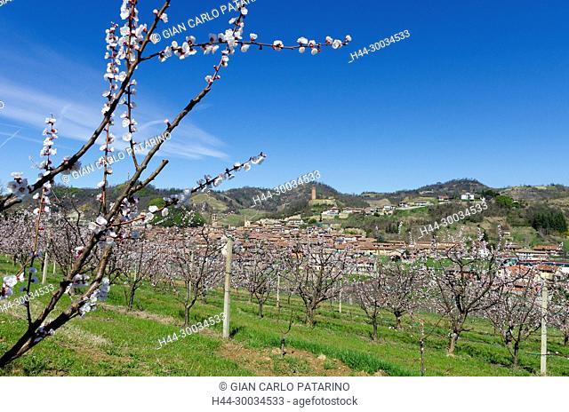 Roero, Piedmont. Almond trees in blossom