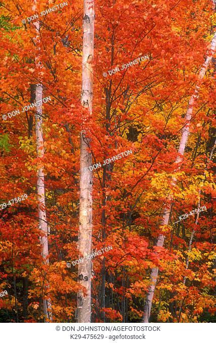 Northern Ontario autumn scenic. Maples in peak autumn colour with white birch tree trunks. Webbwood. Ontario. Canada