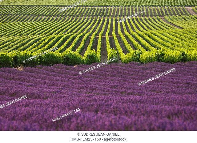 France, Drome, Drome Provencale, near Vinsobres, lavender field and AOC Cotes du Rhone vineyard