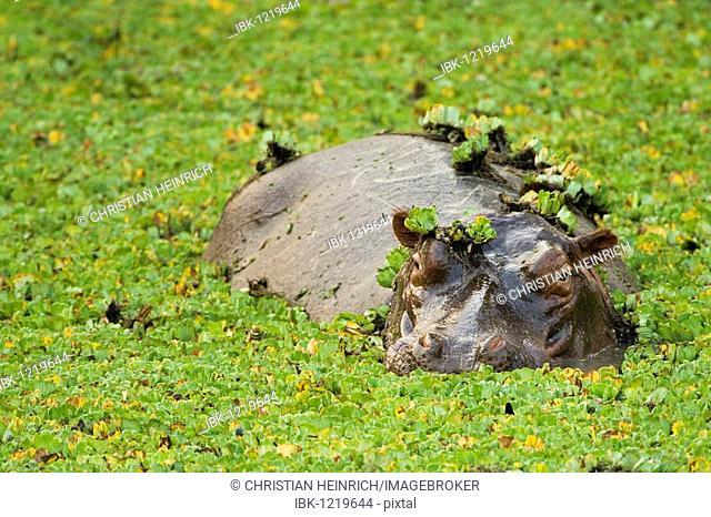 Hippopotamus (Hippopotamus amphibius) in a small water hole with aquatic plants, South Luangwa National Park, Zambia, Africa