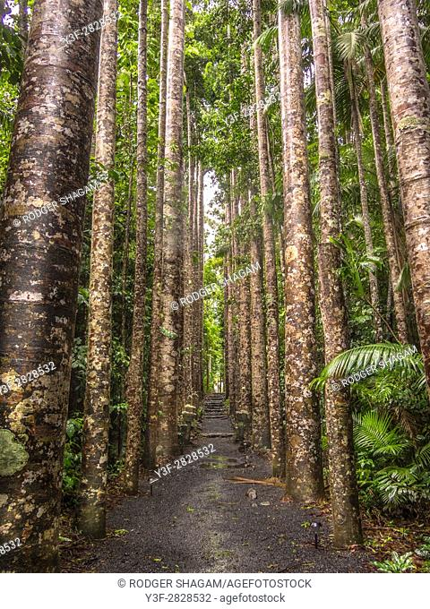 Kauri Pines in Peronella Park, Queensland - the pattern won the trees was used for camouflage designed for the Australian army