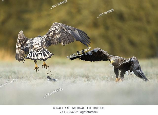 White-tailed Eagles / Sea Eagles ( Haliaeetus albicilla ) adult and young, quarreling about food, showing typical territorial behaviour, wildlife, Europe