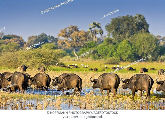 A herd of african buffalos (Syncerus caffer) crossing through water in the Okavango Delta, Botswana
