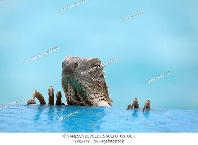 The head of an iguana looking into the lens of the camera at Bonaire on a neutral background, Dutch Antilles