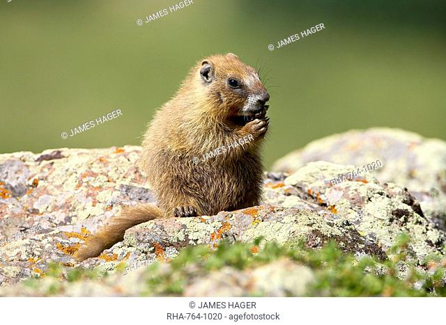 Young yellowbelly marmot Marmota flaviventris grooming, Uncompahgre National Forest, Colorado, United States of America, North America