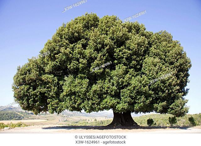 oak, chianti, area of brolio, province of siena, tuscany, italy, europe