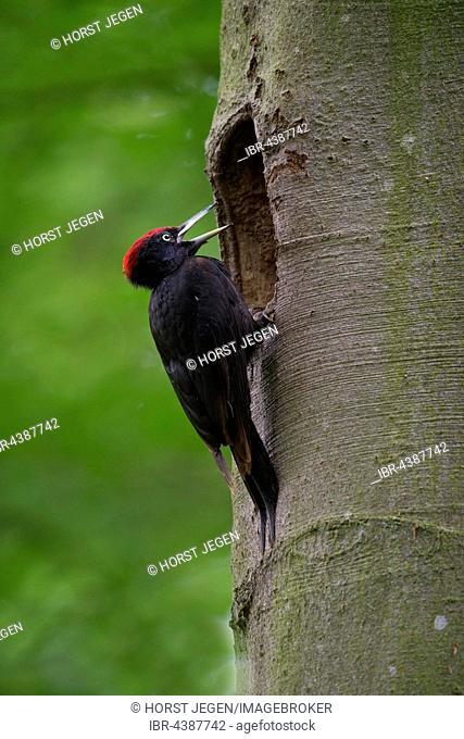 Black woodpecker (Dryocopus martius) at nesting hole, Wittlich, Rhineland-Palatinate, Germany