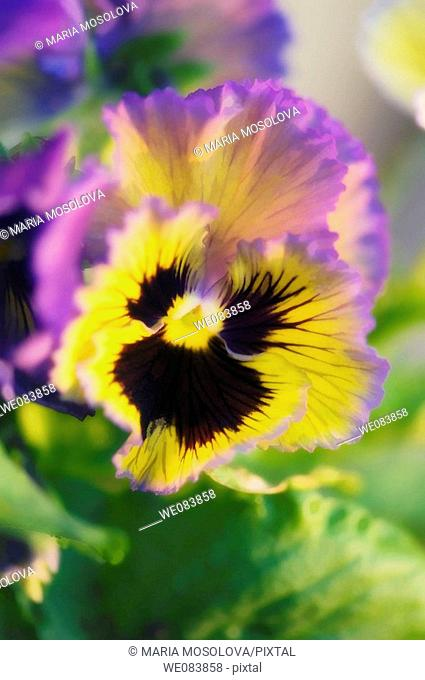 Lavender and Yellow Pansy with Dark Center. Viola x wittrockiana