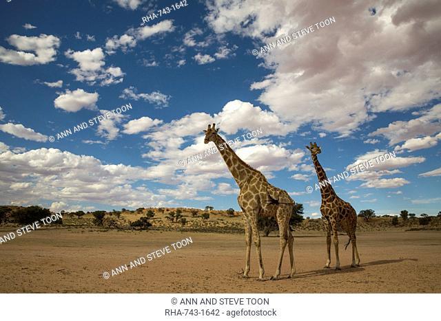 Giraffes (Giraffa camelopardalis), Kgalagadi Transfrontier Park, South Africa, Africa