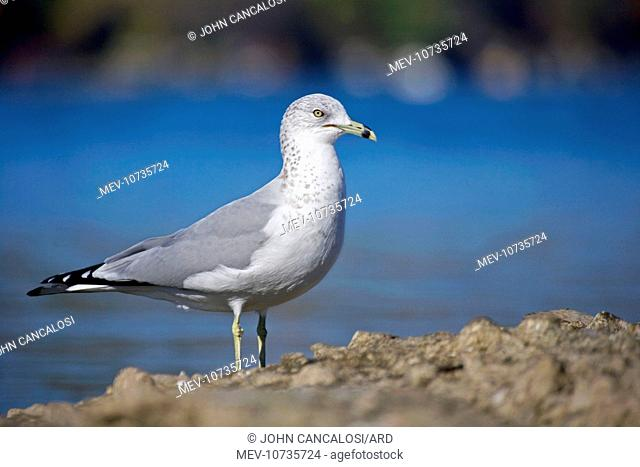 Ring-billed Gull - Adult standing on rock by lake - Most commonly seen gull - especially inland (Larus delawarensis)