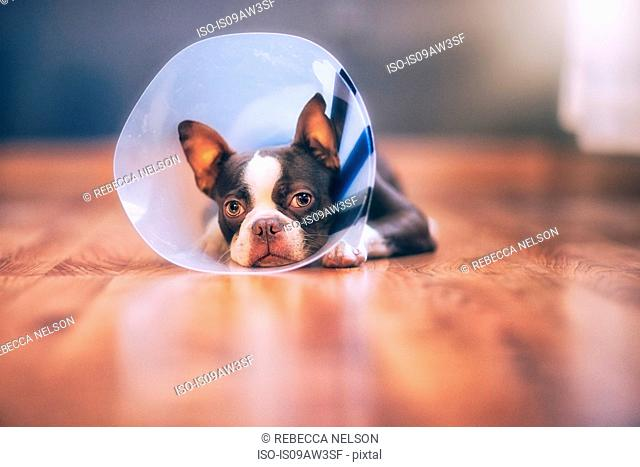 Boston Terrier puppy wearing pet cone