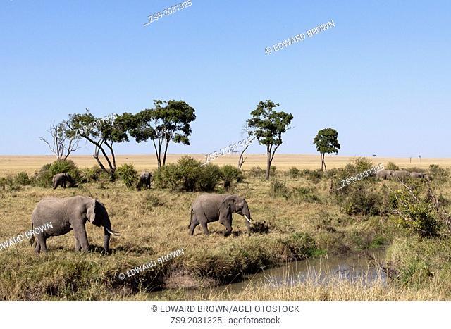 A herd of African elephants (Loxodonta africana) at a watering hole, Masai Mara, Kenya