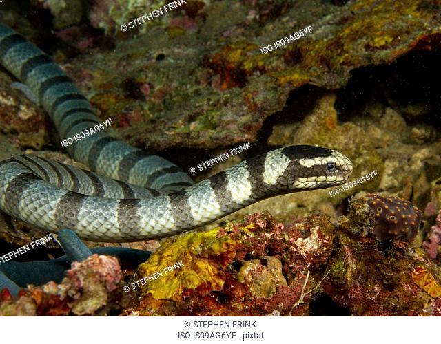 Staring Sea snake