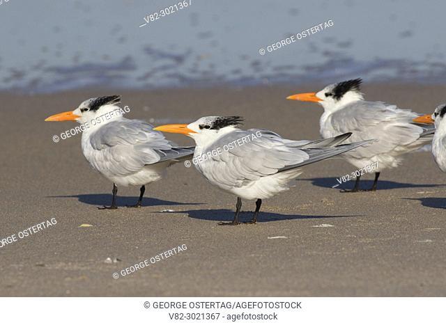 Royal tern (Thalasseus maximus), Canaveral National Seashore, Florida