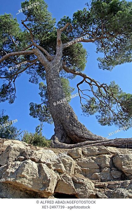 Pine tree, Anoia, Barcelona province , Catalonia, Spain