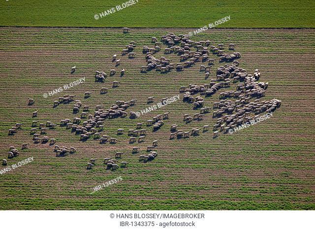 Aerial shot, flock of sheep, Muellingsen, Soest, North Rhine-Westphalia, Germany, Europe