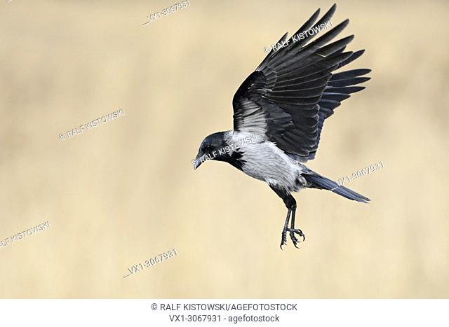 Hoodiecrow ( Corvus cornix ) in flight with wide open wings in front of a beautiful clean reed-colored background, wildlife, Europe