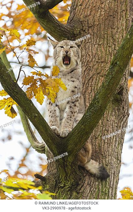 Eurasian Lynx, Lynx lynx, Tomcat in Tree, Autumn, Germany, Europe