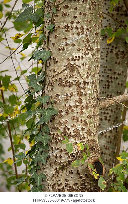 White Poplar (Populus alba) close-up of trunk, with Common Ivy (Hedera helix), Dordogne, France, November