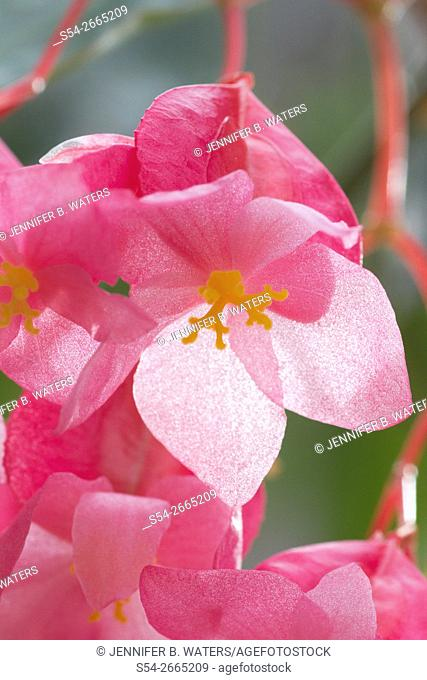 Cane Stemmed Begonia 'My Special Angel.' Begoniaceae