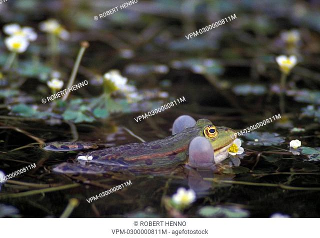 RANA ESCULENTAEDIBLE FROG - GREEN FROGCROAKING AMONGST FLOWERS