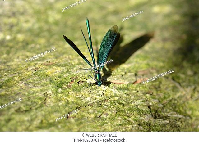 Switzerland, Europe, Jura, Banded Demoiselle, dragonfly, Calopteryx splendens