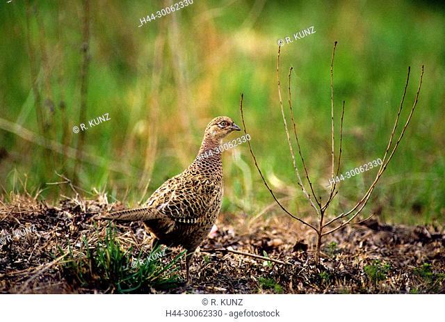 Common Pheasant, Phasianus colchicus, Phasianidae, Pheasant, hen, female, bird, animal, Champagne, Marne Department, France
