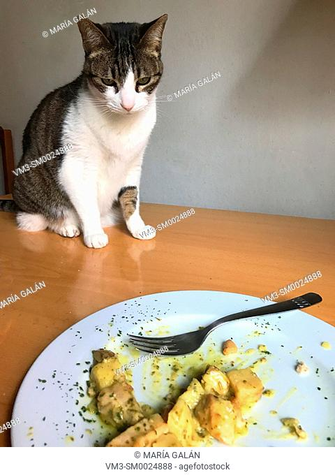 Tabby and white cat looking at a human food dish