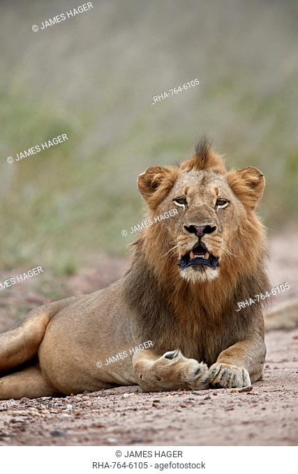 Lion (Panthera leo), male, Kruger National Park, South Africa, Africa