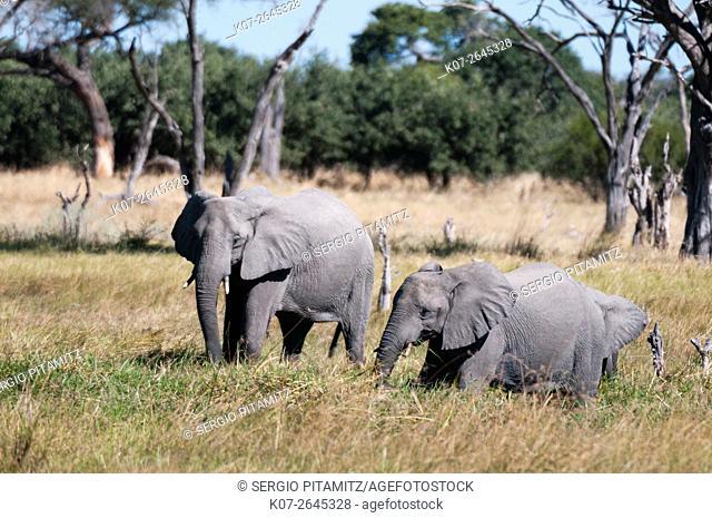 African elephant (Loxodonta africana), Khwai Concession, Okavango Delta, Botswana