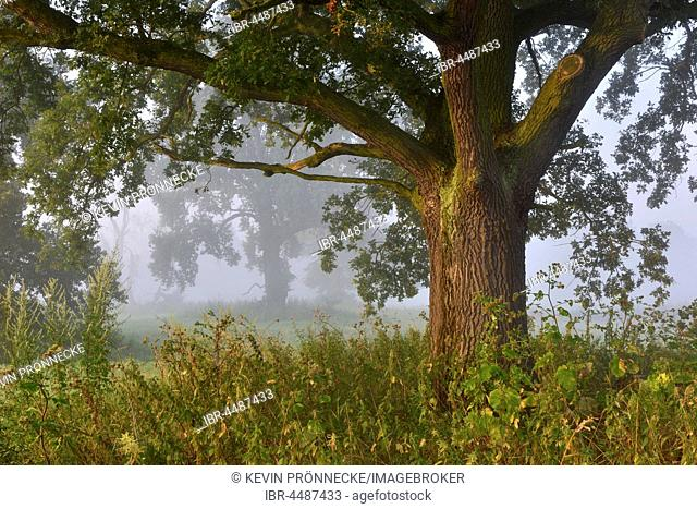 English oak (Quercus robur), meadow landscape, Middle Elbe Biosphere Reserve, Saxony-Anhalt, Germany
