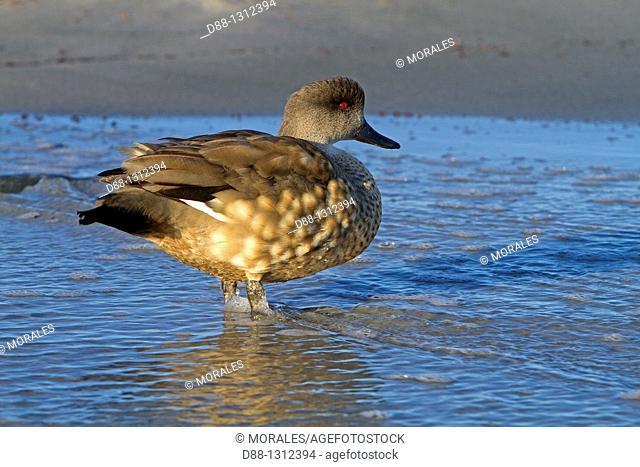 Falkland Islands , Sea LIon island , Crested Duck  Lophonetta specularioides specularioides
